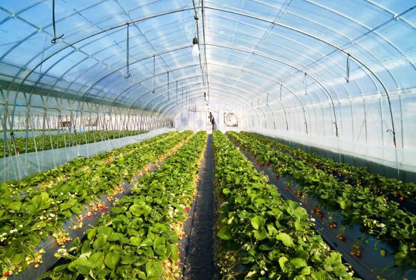 Выращивание клубники в теплице круглый год как бизнес
